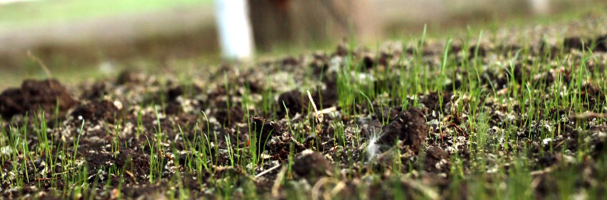 Гидропосев газона, всхожесть